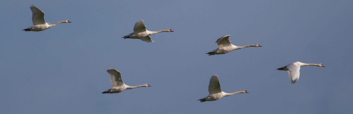 six-swans-in-flight-groß