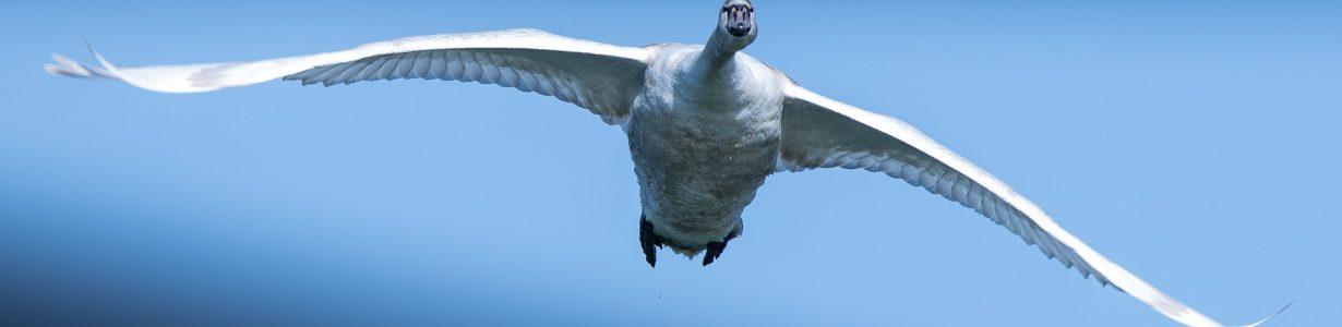 swan-4028220_1920